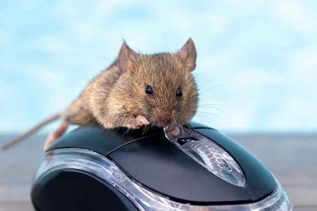 Mysz na myszy komputerowej. praca w biurze. śmieszne ciekawe zwierzęta