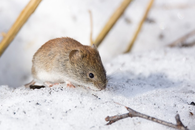 Mysz na śniegu