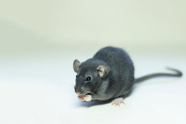 Mysz na szarym, trzymającym łapę za pysk