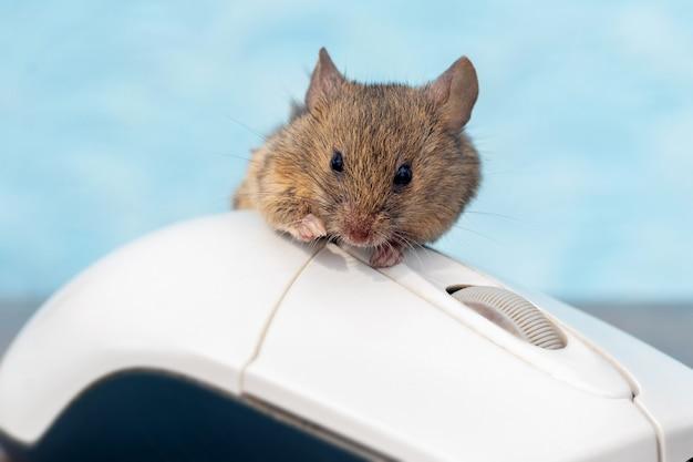 Mysz polna siedząca na myszy komputerowej, koncepcja pracy biurowej