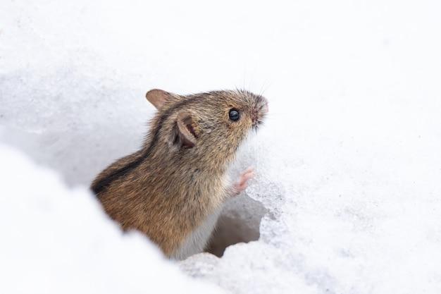 Mysz śnieg zima