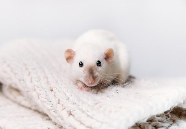 Mysz w swetrze na białym tle