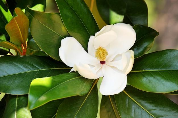 Ñ wspaniała natura białej magnolii w świetle słonecznym