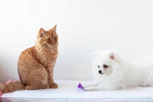 Na białej powierzchni naprzeciw siebie siedzą rudy kot i mały biały pies, szpic miniaturowy. pojęcie dobrostanu zwierząt a relacje psów i kotów.