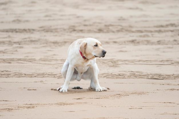 Na białym tle brązowy pies robi kupę na plaży