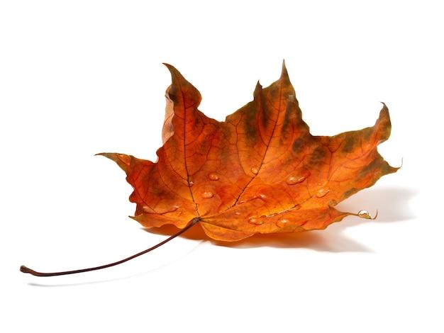 Na białym tle jesienny liść