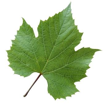 Na białym tle liść winogronowy na białej ścianie. zbliżenie zielony świeży liść. botanika.