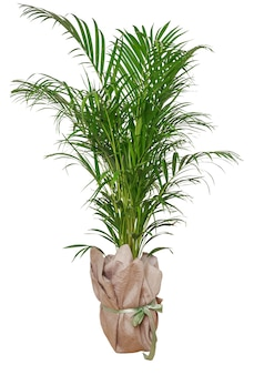 Na białym tle roślina palmy w doniczce na białym tle na białej powierzchni. minimalistyczne tropikalne liście roślina doniczkowa wystrój domu. dekoracyjna palma kentia lub areca na tle białej ściany. ogrodnictwo domowe, miłość do roślin doniczkowych
