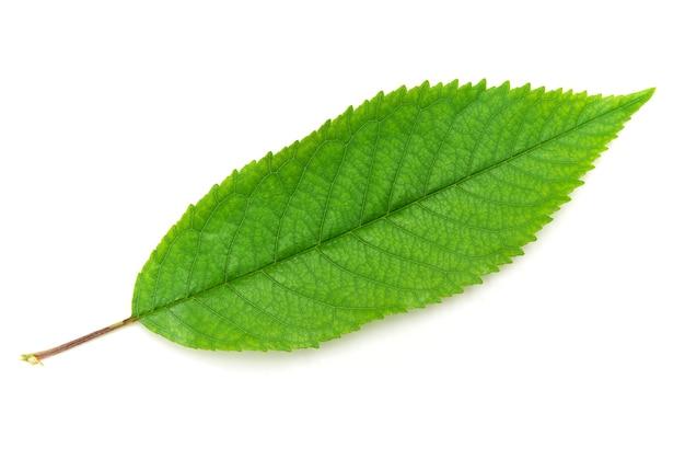 Na białym tle zielony liść