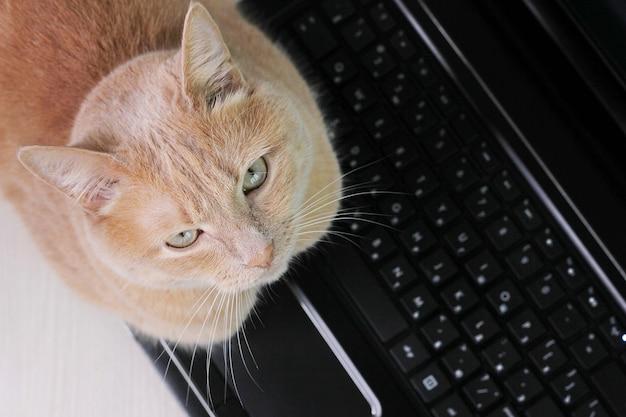Na czarnej klawiaturze laptopa jest czerwony kot. ścieśniać