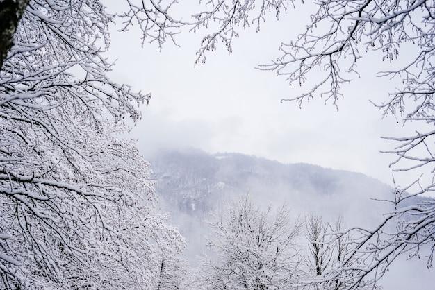 Na dalekiej, zimnej północy drzewa w lesie pokryte są białym śniegiem