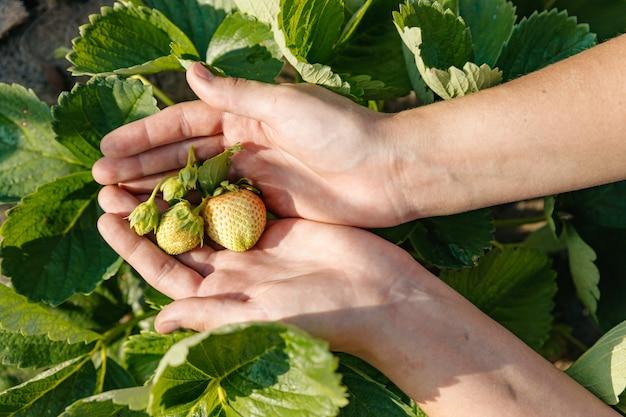 Na dłoni leży pęczek dojrzewających niedojrzałych zielonych truskawek nierozerwanych z krzaka.