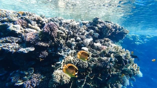 Na dnie morza, pod powierzchnią wody w pobliżu koralowców pływają piękne żółte ryby.