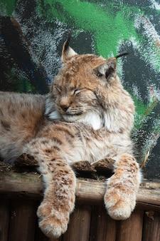 Na drewnianej półce leży duży ryś. ryś euroazjatycki to duży ssak z rodziny kotów zwierzę w zoo