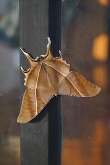 Na drzwiach wisi duża brązowa ćma. motyl nocny występujący w północnej części tajlandii.