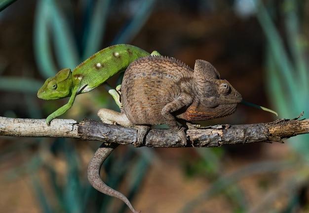 Na gałęzi siedzą dwa różne kolory kameleona. madagaskar.