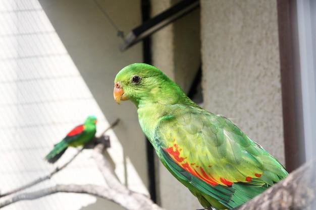 Na gałęzi siedzi piękna papuga o jasnozielonym upierzeniu. widok z boku