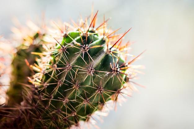 Na jasnym tle gałąź kaktusa z ostrymi, długimi kolbami