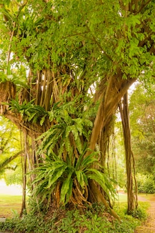 Na jego korzeniach rośnie wielki figowiec z wieloma różnymi roślinami