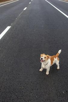 Na jezdni stoi szorstkowłosy jack russell terrier.