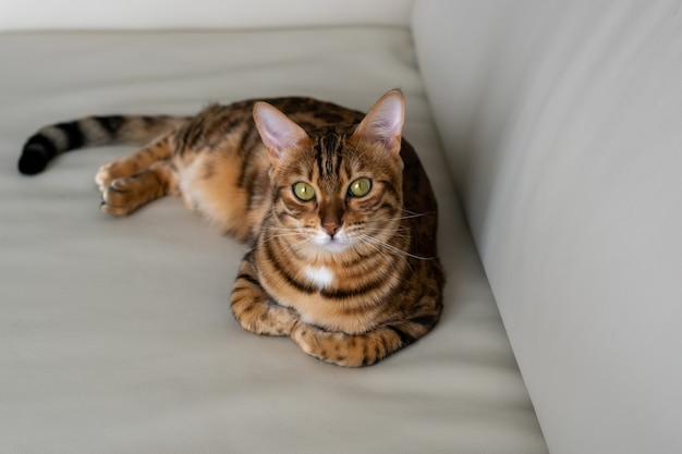 Na kanapie odpoczywa piękny cętkowany kot domowy, patrzy prosto
