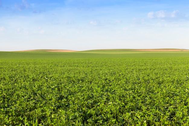 Na którym rosną pola uprawne z piękną zieloną koniczyną do karmienia zwierząt