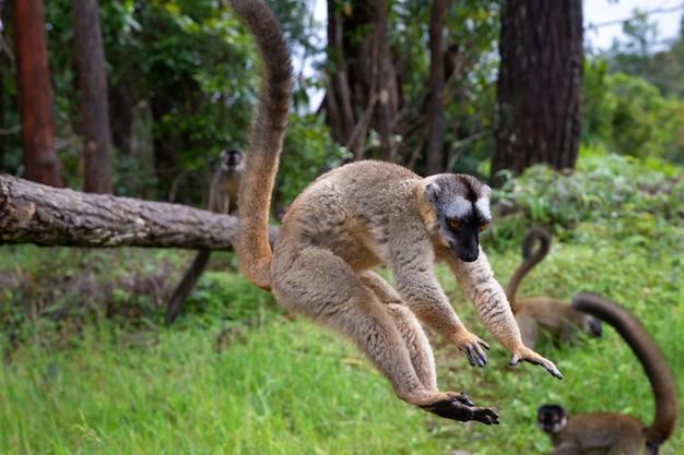 Na łące i pniu drzewa bawią się lemury brunatne i czekają na gości