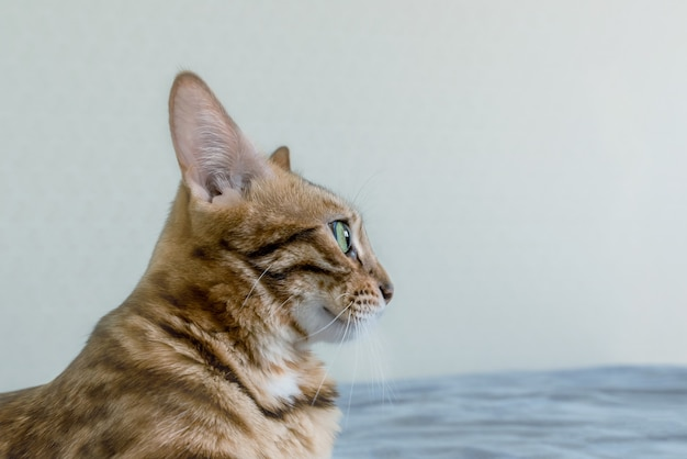 Na niebieskiej sofie leży piękny cętkowany kot bengalski. widok z boku.