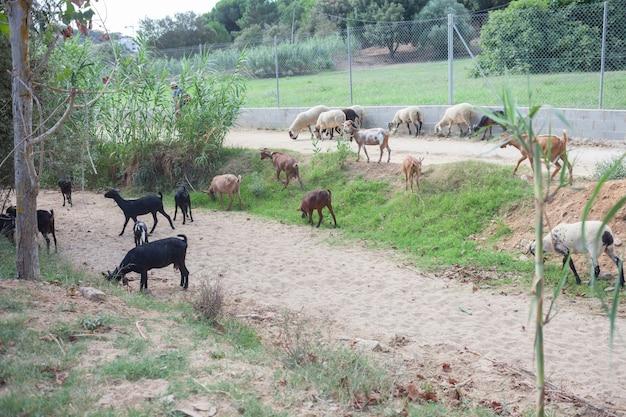 Na otwartym terenie pasie się stado kóz i owiec.