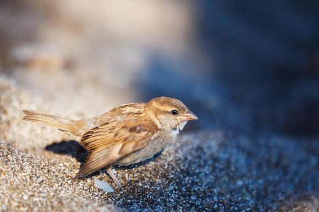 Na piaszczystej ziemi siedzi szaro-brązowy wróbel.
