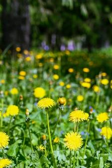 Na pięknej łące wiosną kwitną jasnożółte mlecze.