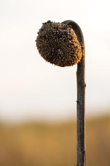 Na pierwszym planie jest małe brązowe, uschnięte słoneczniki w tle, poza polem ostrości.