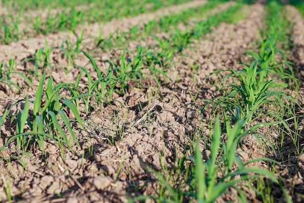 Na plantacji kukurydzy rosną kiełki kukurydzy. selektywny obraz ostrości