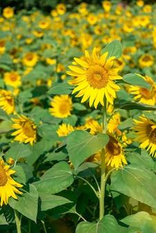 Na polach jest dużo słoneczników