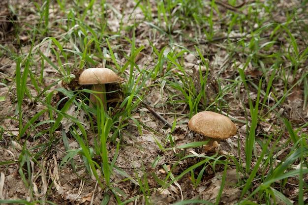 Na polanie rosną dwa białe grzyby
