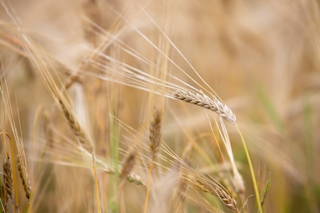 Na polu rośnie młoda pszenica.