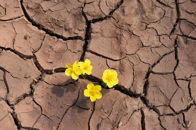 Na popękanej glinie wyschniętego jeziora rosną żółte kwiaty