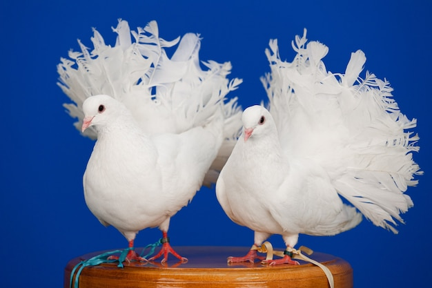 Na promenadzie siedzi para białych gołębi, symbol miłości i czystości