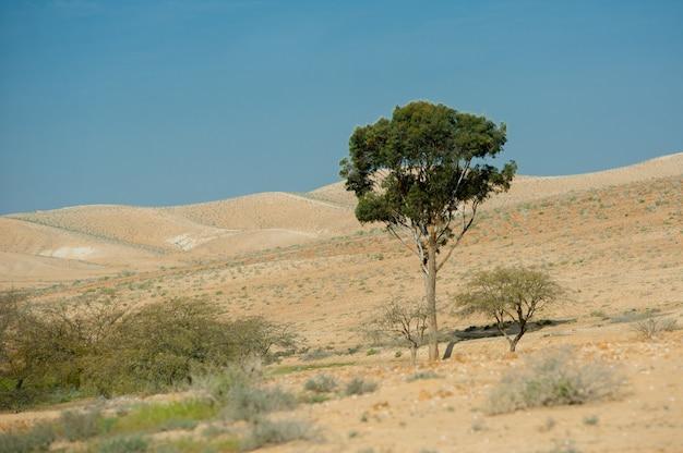 Na pustyni izraela stoi zielone drzewo.