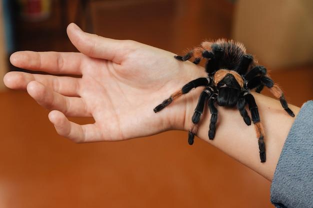 Na ramieniu siedzi duży pająk tarantuli.