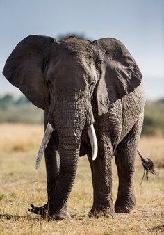 Na sawannie stoi duży słoń.