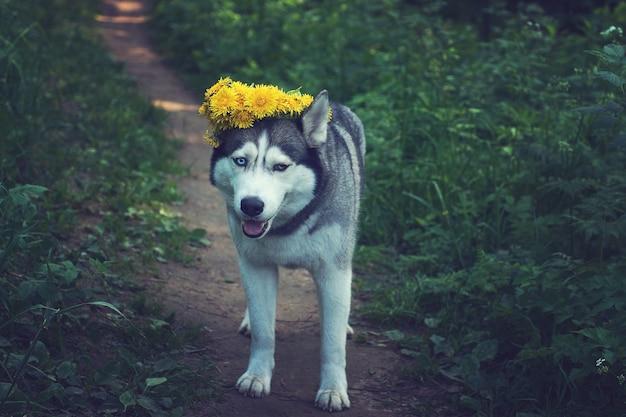Na ścieżce stoi zadowolony szary pies husky z żółtym wieńcem z mniszka lekarskiego na głowie.
