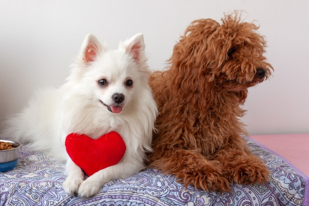 Na ściółce leżą dwa małe psy, biały szpic miniaturowy i rudobrązowy pudel miniaturowy. biały pies trzyma w łapach czerwone zabawkowe serduszko