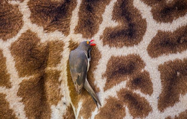 Na skórze żyrafy siedzi wół czerwonodzioby. afryka. kenia. tanzania. park narodowy serengeti.