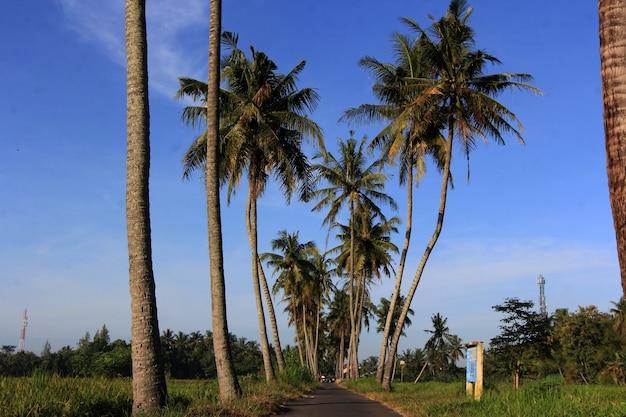 Na Skraju Pól Ryżowych Rosną Drzewa Kokosowe Premium Zdjęcia