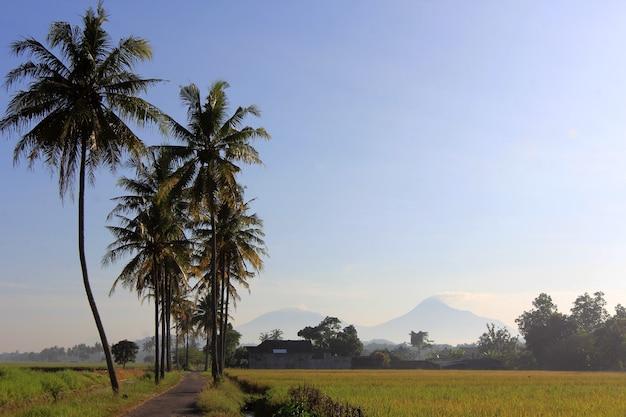 Na skraju pól ryżowych rosną drzewa kokosowe
