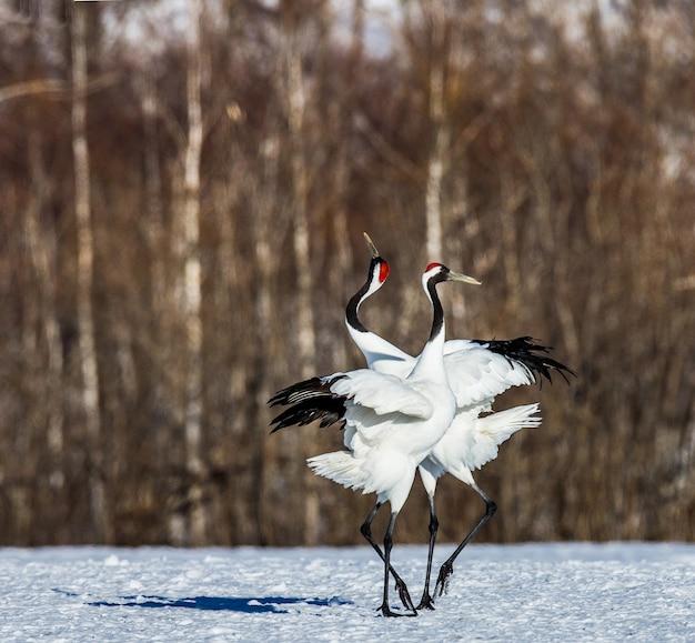 Na śniegu stoją dwa japońskie żurawie