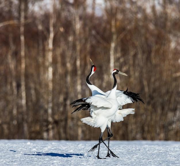 Na śniegu Stoją Dwa Japońskie żurawie Premium Zdjęcia