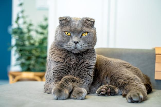 Na sofie leży szary kot rasy scottish fold