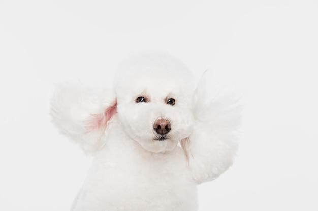 Na stojąco. śliczny puszysty pies biały pudel lub zwierzę skaczące na białym studio.